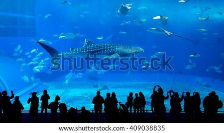 whale shark in okinawa churaumi ...