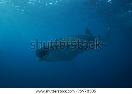 Whale Shark  Philippines