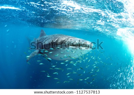 Whale shark (Rhincodon typus) and his little fish friends