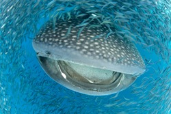 Whale Shark,Rhincodon typus,feeding on bait fish,in Venezuela,Caribbean Sea.
