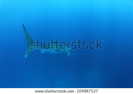 Whale shark (Rhincodon typus) in the Red Sea