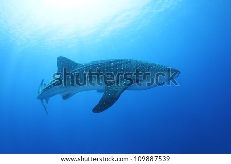 Whale shark (Rhincodon typus) in the Red Sea - stock photo