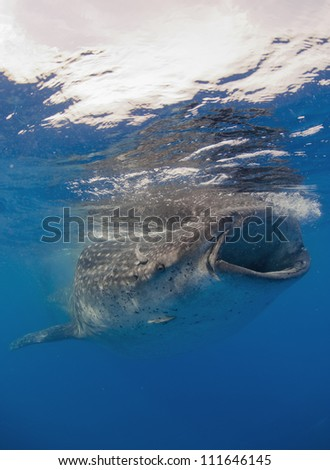 Whale shark  (Rhincodon typus) is a slow moving filter feeding animal. Its the biggest fish on the planet.
