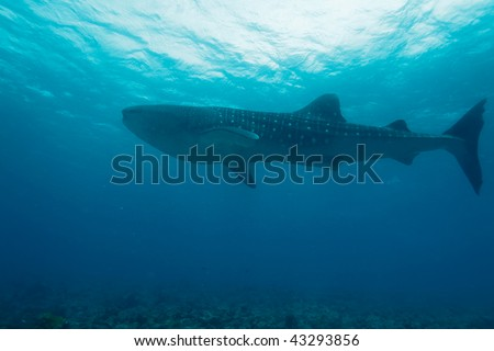 Whale shark (Rhincodon typus), Maldivess