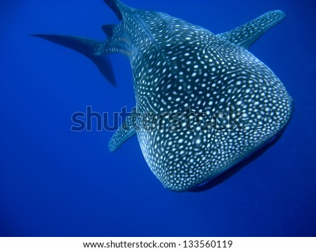 Whale Shark (Rhincodon typus) swimming right at the camera in crystal clear blue waters off the coast of Maui