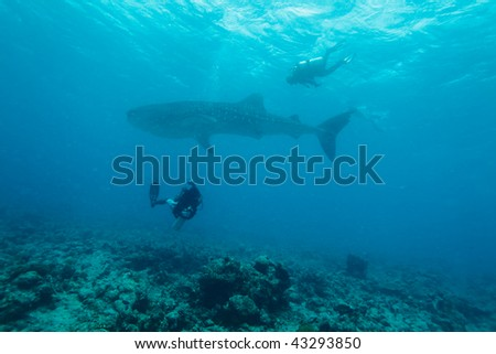 Whale shark (Rhincodon typus) with divers, Maldives
