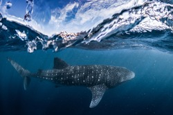 Whale shark split shot, Ningaloo reef, Western Australia