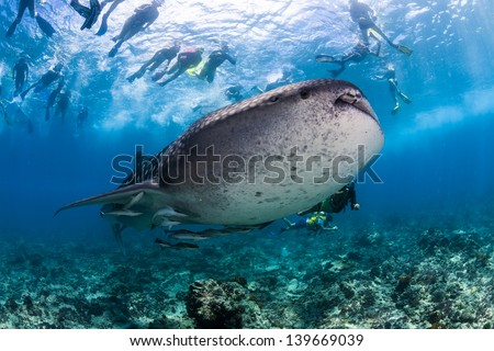 Whale shark spotting snorkeling in maldives surrounded by snorkeler