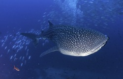 Whale shark swimming through a school of bait fish in the waters around the dive site