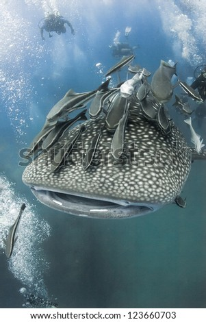 Whale shark swimming under water in the ocean near the island of Koh Tao in the Gulf of Thailand with scuba divers around.