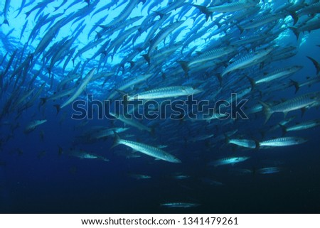 Whale Shark swims through school of Chevron Barracuda fish