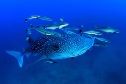 Whale Shark underwater