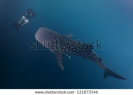 Whale Shark underwater approaching a scuba diver in the deep blue sea similar to attack but inoffensive