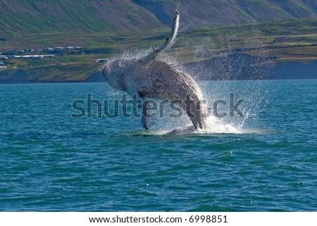 Whale show near Husavik City in Iceland.