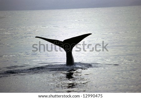 Whale taking a dive of the shores of Kaikoura New Zealand