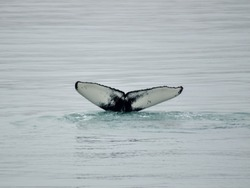 Whale tale fin just before diving for food