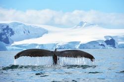 Whale tale in Antarctica peninsula cost