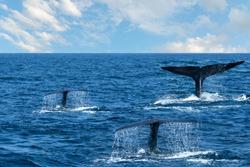 Whale tales in blue sea water, Sri Lanka, Mirissa
