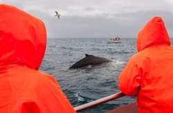 Whale watching in Husavik, North Iceland, People in boat are happy to see feeding Humpback whale in very cold water and lot of seagulls around