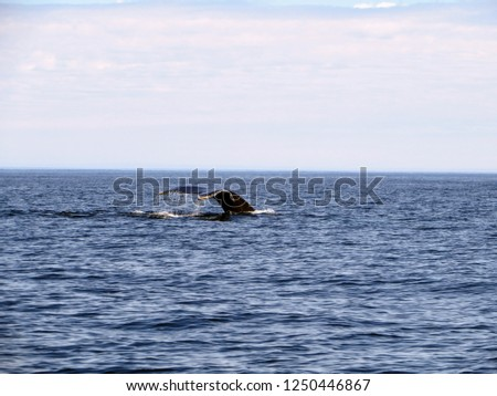 Whale watching in the open ocean viewing a humpback whale submerging off the coast of Bonavista, Newfoundland and Labrador, Canada