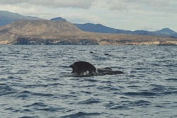 Whalewatching tenerife pilot whale