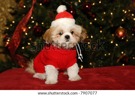 What Do You Mean, No Santa Claus? - A Shih Tzu puppy with a shocked expression on her face.
