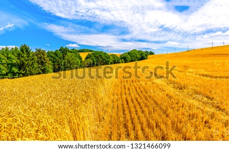 Wheal field agriculture landscape. Agriculture farm wheat field view. Agriculture farm field scene. Wheat field agriculture landscape