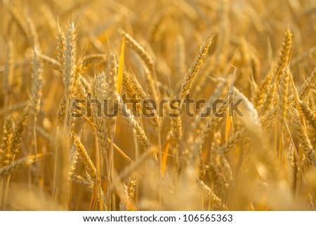 wheat #106565363