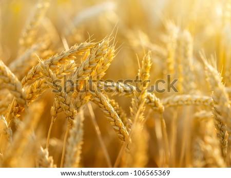 wheat #106565369