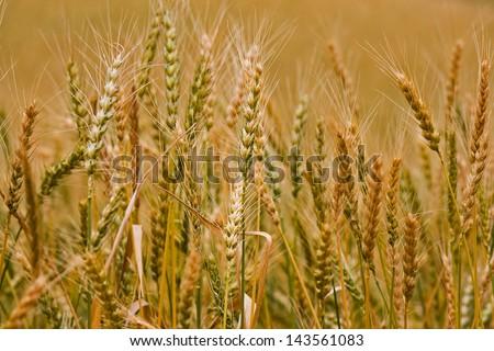 Wheat #143561083