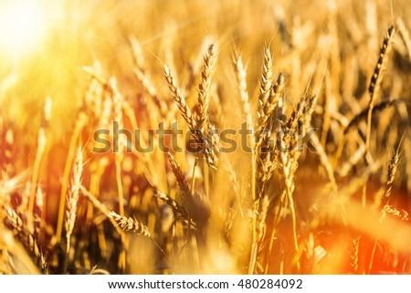 Wheat. #480284092