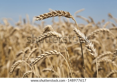 Wheat and ear of wheat