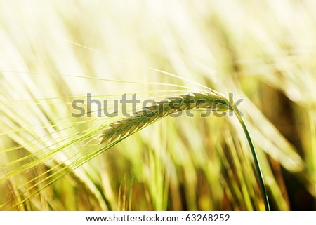wheat and sunny day