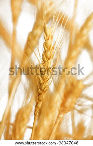 wheat as a background, close-up