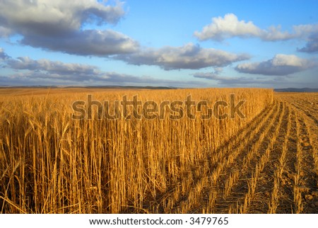 wheat at sunset - stock photo