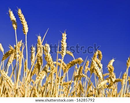 Wheat background