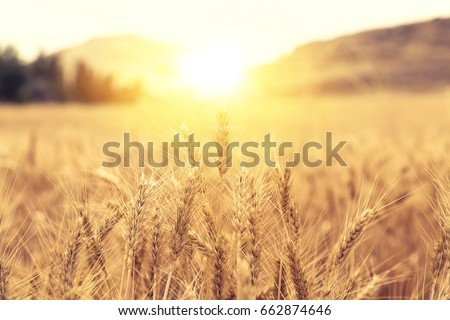 Wheat Beards.Wheat field morning sunrise and yellow sunshine #662874646