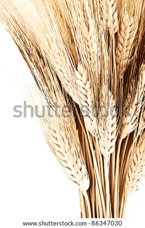 Wheat bouquet border, isolated on white background, closeup on autumn ripe plant, harvest concept