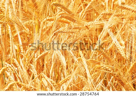 Wheat close up in sunny day on a field - stock photo