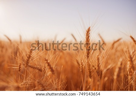 wheat close-up in the field #749143654