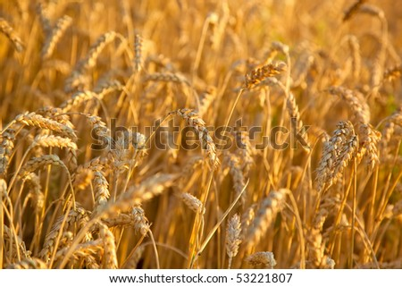 Wheat close-up. Red sunset light.