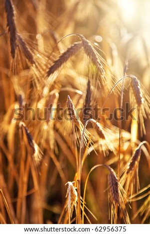 Wheat close-up. Red vibrant colors.