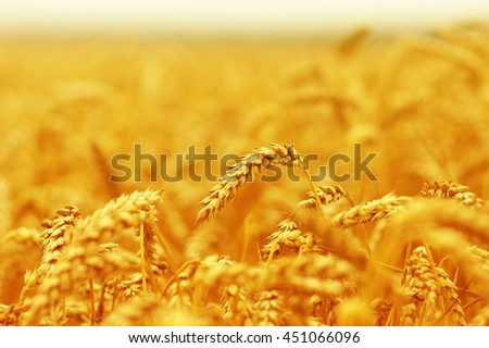 Wheat closeup.  #451066096