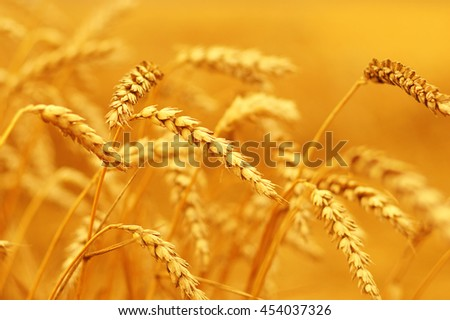 Wheat closeup.  #454037326