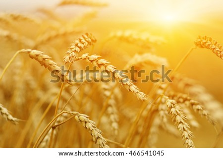 Wheat closeup. #466541045