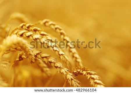 Wheat closeup.  #482966104