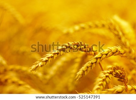 Wheat closeup.  Harvest and food concept #525147391