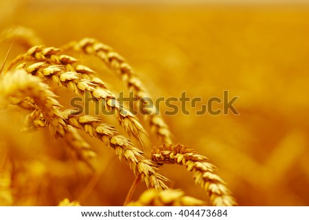 Wheat closeup. Wheat field. Background of ripening ears of wheat. Harvest and food concept #404473684