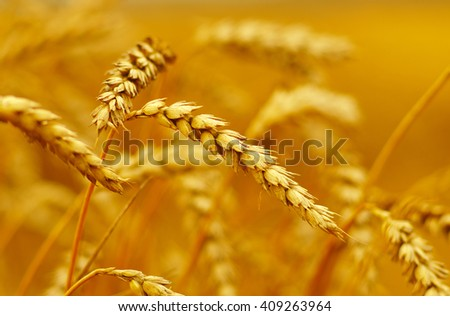Wheat closeup. Wheat field. Background of ripening ears of wheat. Harvest and food concept #409263964