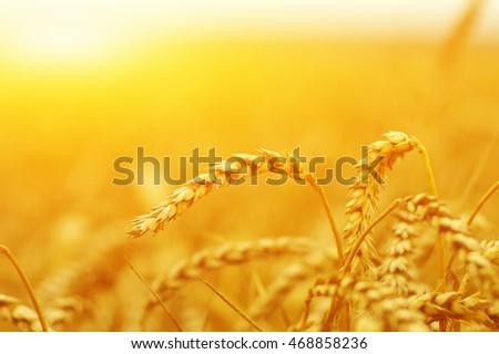 Wheat closeup. Wheat field on sun. Background of ripening ears of wheat. #468858236